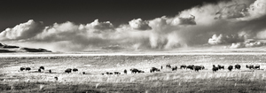 Buffalo Herd in Spring Meadow, Pano Fine Art Print