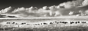 Buffalo Herd in Spring Meadow, Panorama