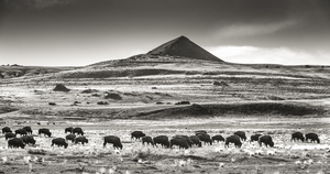 Pyramid Butte Bison Herd, Panorama