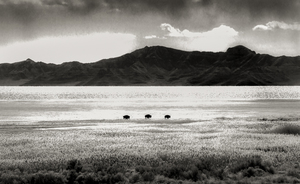 Three Bison on Salt Flats