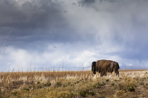 Majestic Bison of the Plains #2