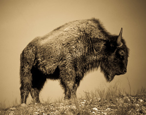 Old Style Buffalo, Fine Art Photographic Print