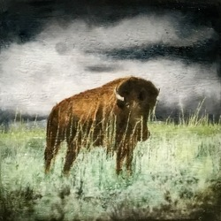 American Plains Bison, 16x16 inch, $550 Sold