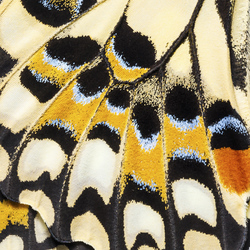 Butterfly Wings Texture